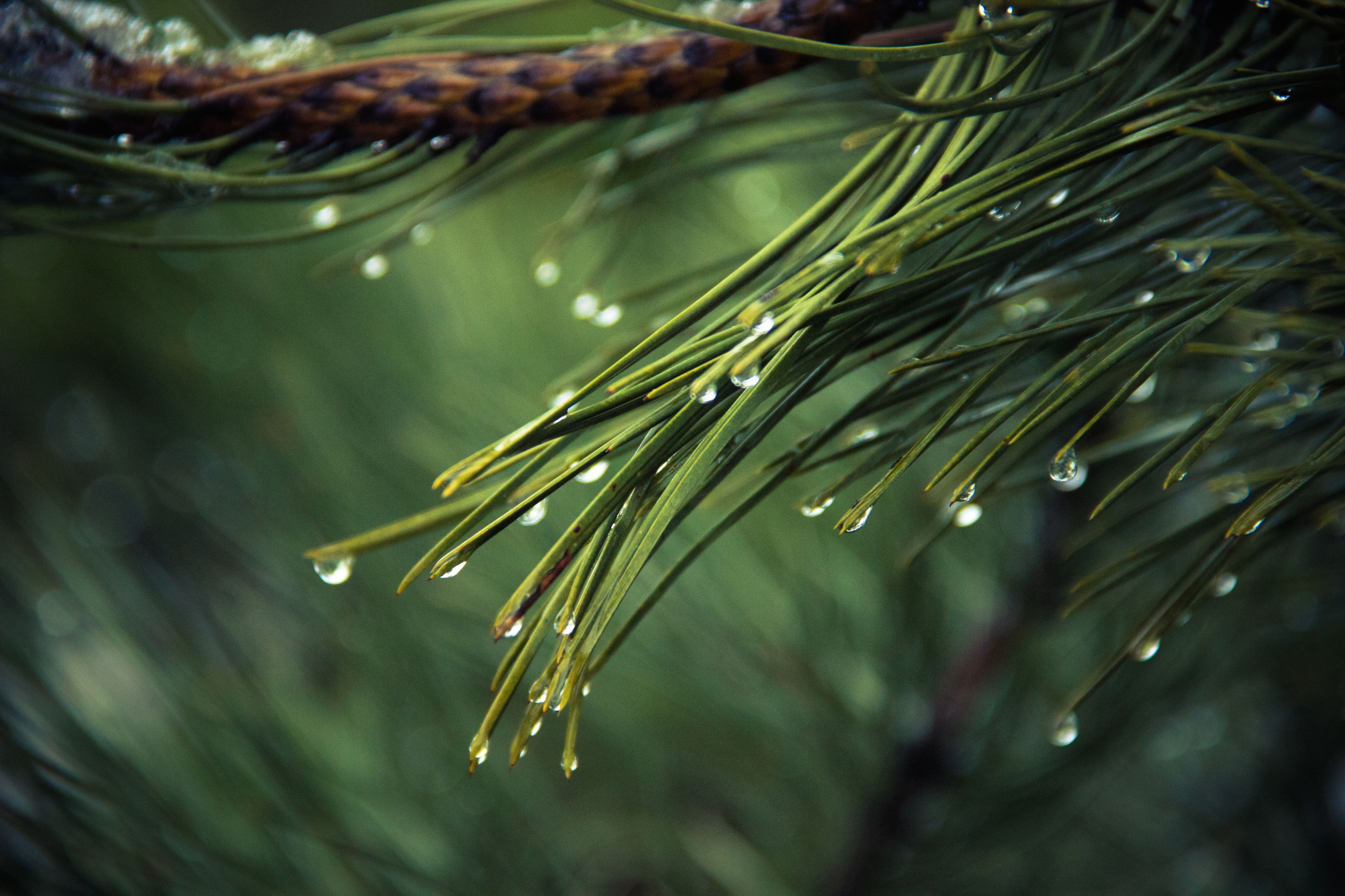 rain on pine needles